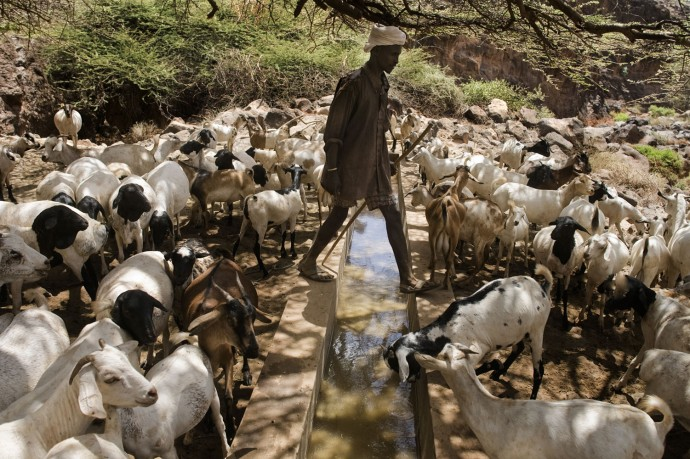 Goats find water even during one of the worst drought in years - © Giulio Napolitano