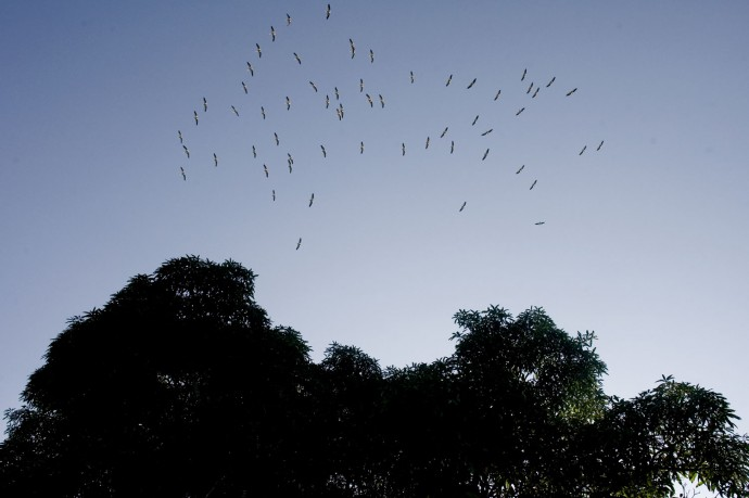 Birds flying over the Nkula dense forest, Luki, 60 Km North of Matadi, Bas-Congo  - © Giulio Napolitano