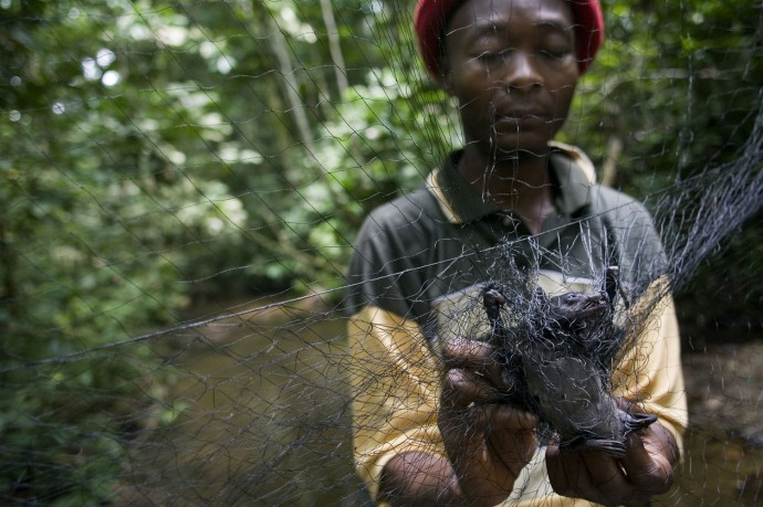 Frank Bapeamoni, PhD, recollects a bat trapped on one of the nets positioned in the forest  - © Giulio Napolitano