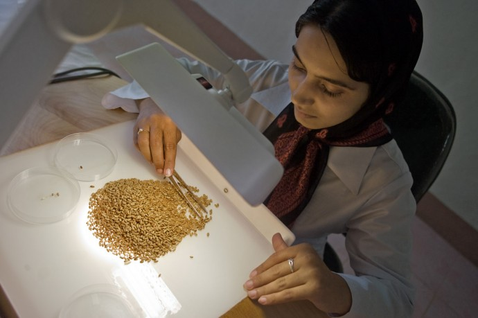 Seed testing and processing activities in Herat laboratory (Seed Complex) - © Giulio Napolitano