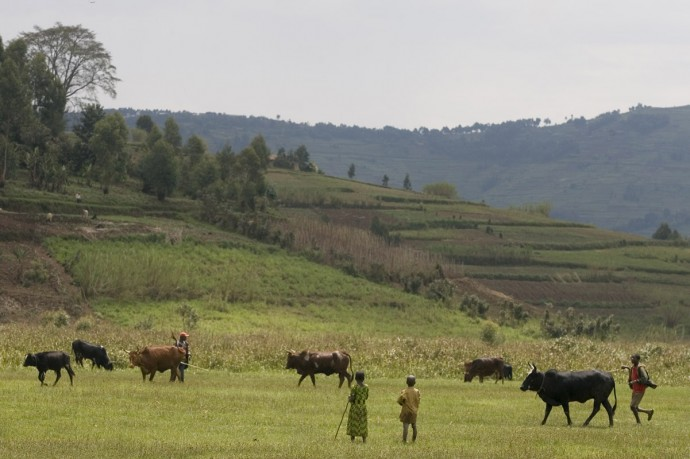 Livestocks in the Rugezi Marshland, 90km north of Kigali  - © Giulio Napolitano