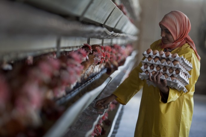 Worker collecting eggs at a poultry farm outside of Cairo.  - © Giulio Napolitano