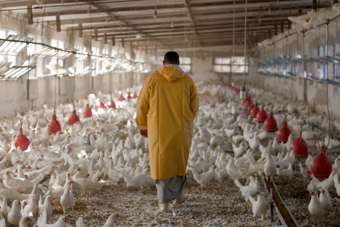 A worker walking through the indoor chicken coop at the Mohsen Elshazly poultry farm.  - © Giulio Napolitano