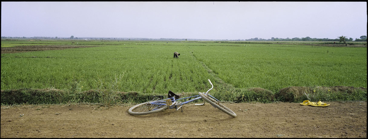 Panoramic view of farmer cultivating a rice seed multiplication crop planted for its select seeds. - © Giulio Napolitano