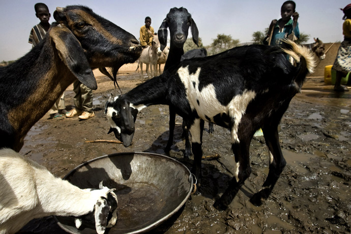 Goats drinking water from a well, Tarwada, Niger  - © Giulio Napolitano